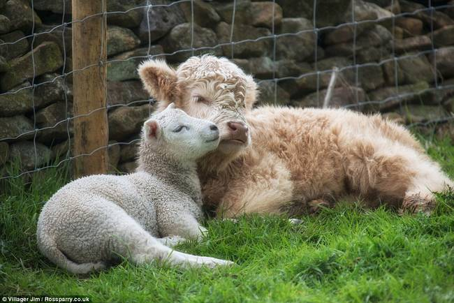 """33.) This orphaned lamb and calf who found <a href=""""http://www.viralnova.com/lamb-calf-friends/"""" target=""""_blank"""">adorable friendship and family with each other</a>."""