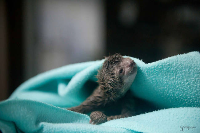 """41.) This baby sloth who entered the world as the <a href=""""http://www.viralnova.com/baby-sloths/"""" target=""""_blank"""">first ever sloth c-section delivery</a>."""