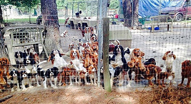 """50.) The amazing folks at Operation Cavalier Rescue who saved the lives of <a href=""""http://a.viralnova.com/puppy-mill-rescue/"""" target=""""_blank"""">over 100 pups from an awful puppy mill</a>."""