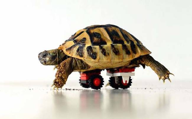 """51.) This tortoise whose vet got <a href=""""http://www.viralnova.com/lego-tortoise/"""" target=""""_blank"""">creative with some LEGOs to help him heal</a>."""