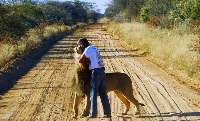 了Zion,Frikkie也養大了其他的獅子,不過與他們兩個明顯就是有特別的連結。