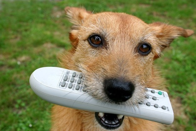 You've taught your dog how to fetch the remote control.