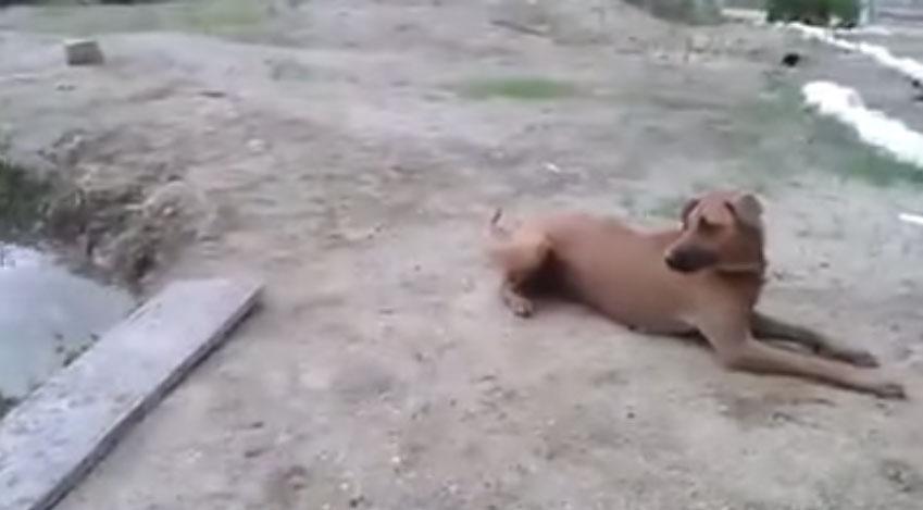 英雄狗以為主人在溺水,馬上跳到水裡去救他的模樣感動死我了!