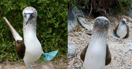 這絕對不是修圖!這種可愛的海鳥求偶時居然真的會用藍腳丫跳舞...!?