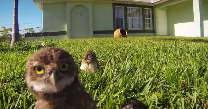 攝影機偷拍到在人類離開家後,這2隻貓頭鷹立刻展開嘻哈舞蹈派對!