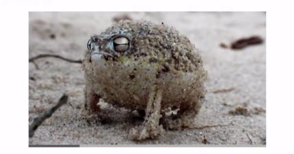 這隻胖胖的憤怒蛙一點都不可愛,但當聽到他的叫聲時...可愛大逆轉!