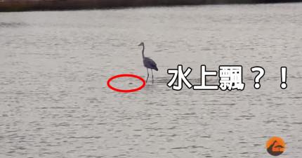這隻大藍鷺在湖上做的事情讓大家超困惑,直到他的衝浪板浮出水面...