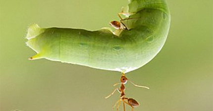 這些照片會讓你看到如果這隻小螞蟻再大一點的話,或許就能把你給舉起來!