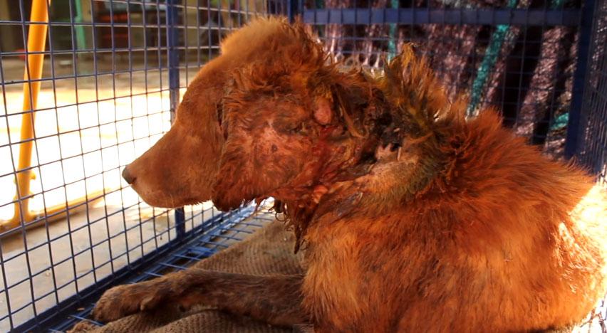 這隻瀕臨死亡的狗狗滿身都是在吃她的蛆,但你繼續看到最後時你的臉上會忍不住出現一個大笑容!