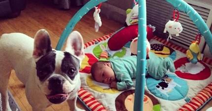 看完這隻3歲的小法鬥怎麼照顧他新生兒妹妹,會讓你的心溫暖一整天。