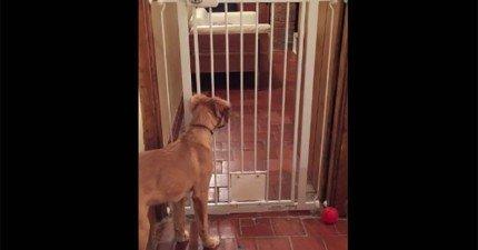 主人一直不知道狗狗是怎麼破解閘門的,直到他裝設了攝影機把過程都拍下來!