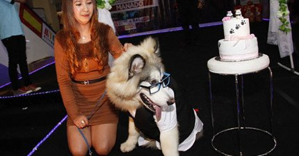 別懷疑,這隻西裝鼻挺的帥狗正在等待美麗新娘的到來,準備在百人面前浪漫成婚。