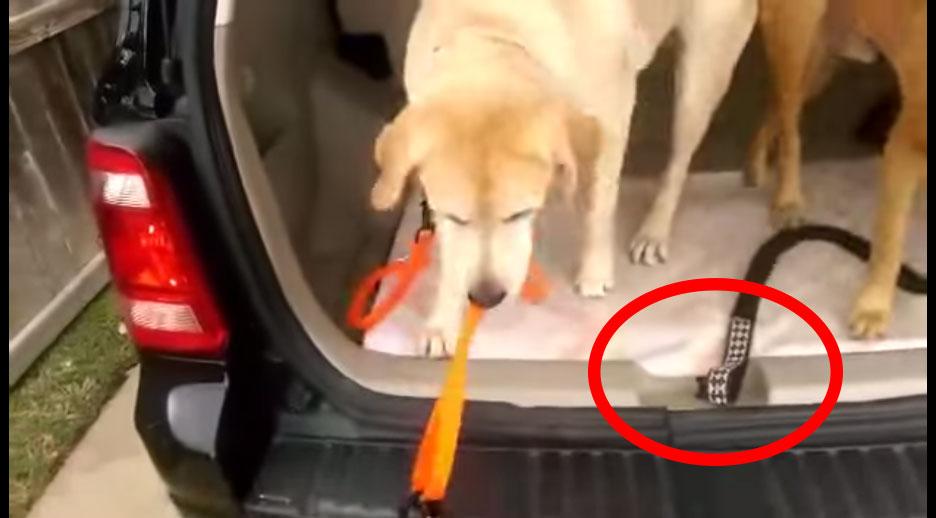 「傻瓜!你的狗鍊蓋住扣環,我們怎麼關門然後去公園玩?」史上最聰明的狗狗做出讓主人傻眼的事情。