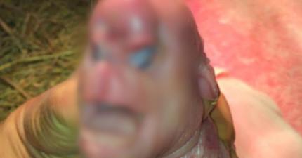 中國一間養豬場,意外誕生了這隻有猙獰人臉、頭上還有生殖器官的畸形小豬!