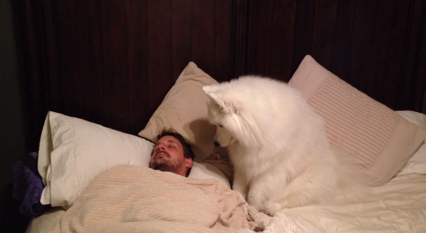 薩摩耶犬叫爸爸起床