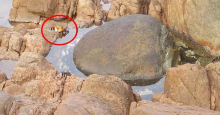 一隻螃蟹走到一半,水中突然衝出一支章魚包住牠...超瘋狂的!