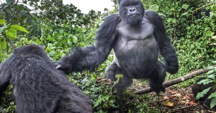 這位攝影師在拍大猩猩時,下一秒一個黑色大拳頭飛過來。