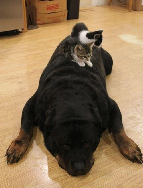 14隻認為狗狗就是他們枕頭的貓咪。