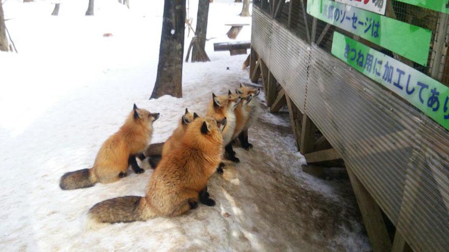 zao-fox-village-japan-22