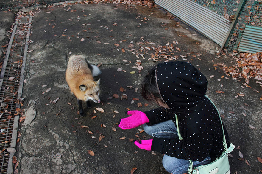 無論你再有自制力,都無法敵擋日本狐狸村強大的毛茸茸魔力催眠!