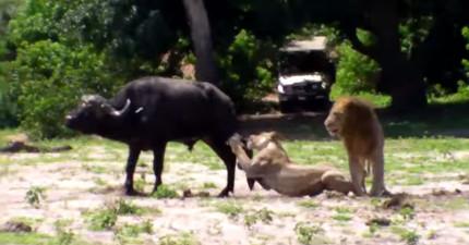 當母獅子在攻擊獵物的時候,公獅子忽然心血來潮直接「騎上」母獅子!