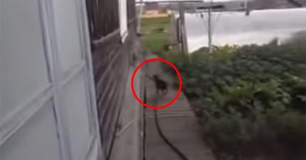 狗狗很久都沒有把丟出去的球撿回來,主人去看的時候竟看到狗狗扛著一隻貓咪...