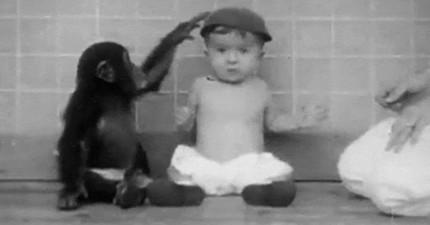 曾有位心理學家將小黑猩猩跟小孩一起養大,實驗結果讓人相當意外!