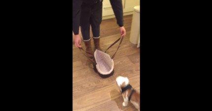 這隻小英國鬥牛犬進去她的狗提袋的方法會把你給萌翻!