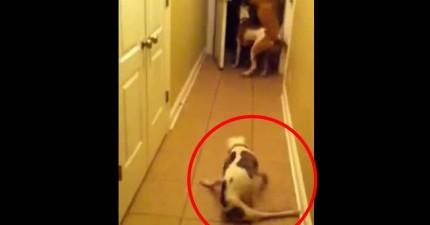狗狗看到離家6個月的主人返家都興奮不已,其中後面這隻的反應會正中你的哭點。