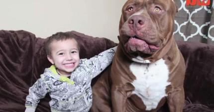 這隻世界最大的80公斤比特犬平時和善,但當主人下令攻擊時卻讓人倒抽一口氣啊!