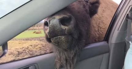這個女生開車餵食窗外的水牛,沒想到激情的水牛竟然開始對她調情?!