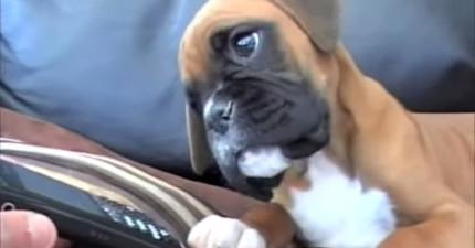 「馬麻~妳在哪裡?」這隻小拳師犬聽到媽媽手機發出聲音的疑惑神情實在太揪心啦!