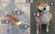 狗狗不見得都喜歡散步!21隻會讓你看得開心到哼起歌的超級懶狗。