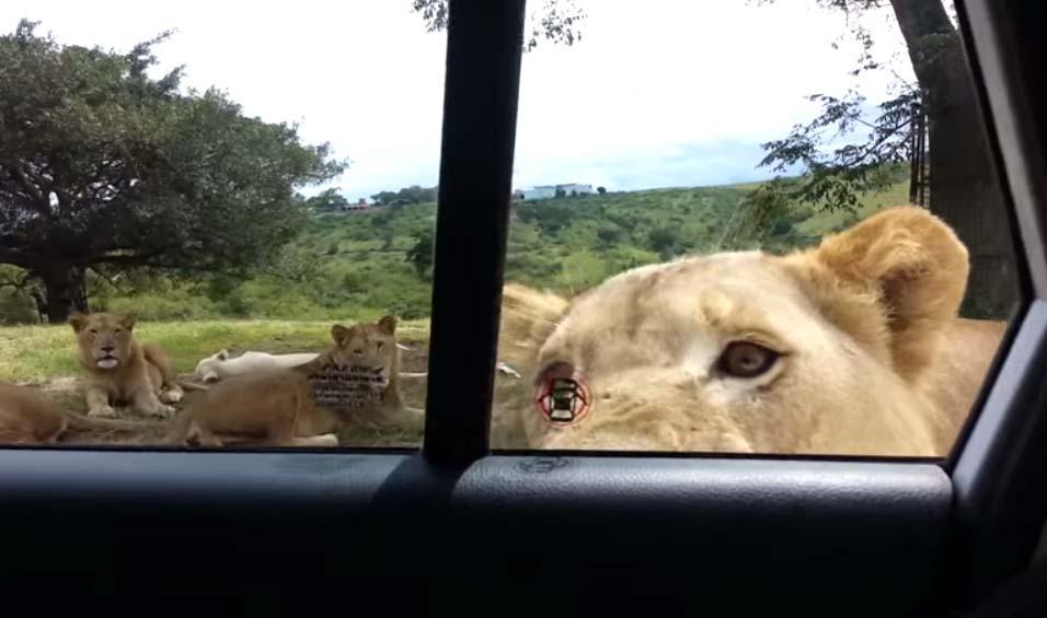 開車去動物園參觀...下秒車門「被巨大肉掌打開」 萬獸之王萌探頭:食物你們好~