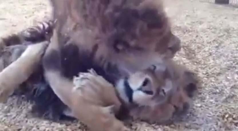 這對獅子兄弟倆現在超萌相依偎的畫面,同時也揭露了馬戲團不為人知的恐怖秘密!