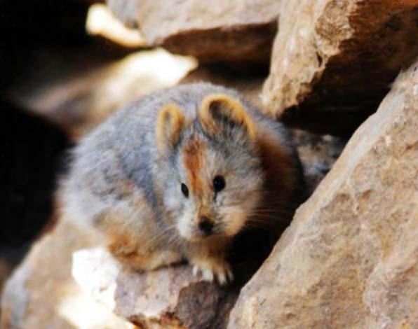 去年夏天,兩名研究員之中,一名叫做李衛東的男子卻居然與這樣難以捉摸的伊犁鼠兔不期而遇。當時他與他的團隊立刻拍下了伊犁鼠兔的照片,這才留下了指標性的相片紀錄。