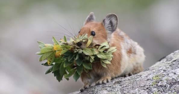 儘管科學家知道在哪裡可以找到伊犁鼠兔,但是要找到他們的機會可說是非常難。例如,2002年和2003年間,亞利桑那州立大學 (Arizona State University) 與新疆環境保護科學研究院的兩名研究人員試圖在天山捕捉伊犁鼠兔,然而,經過了37天的等待,他們仍然空手而歸。