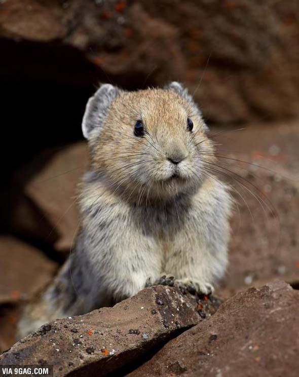 1990年代時,科學家估計當時約有2000隻伊犁鼠兔棲息在新疆維吾爾自治區。雖然2003年兩名研究員並沒有在探勘現場看見伊犁鼠兔,但是他們還是有發現伊犁鼠兔獨特的糞便和雪中足跡。