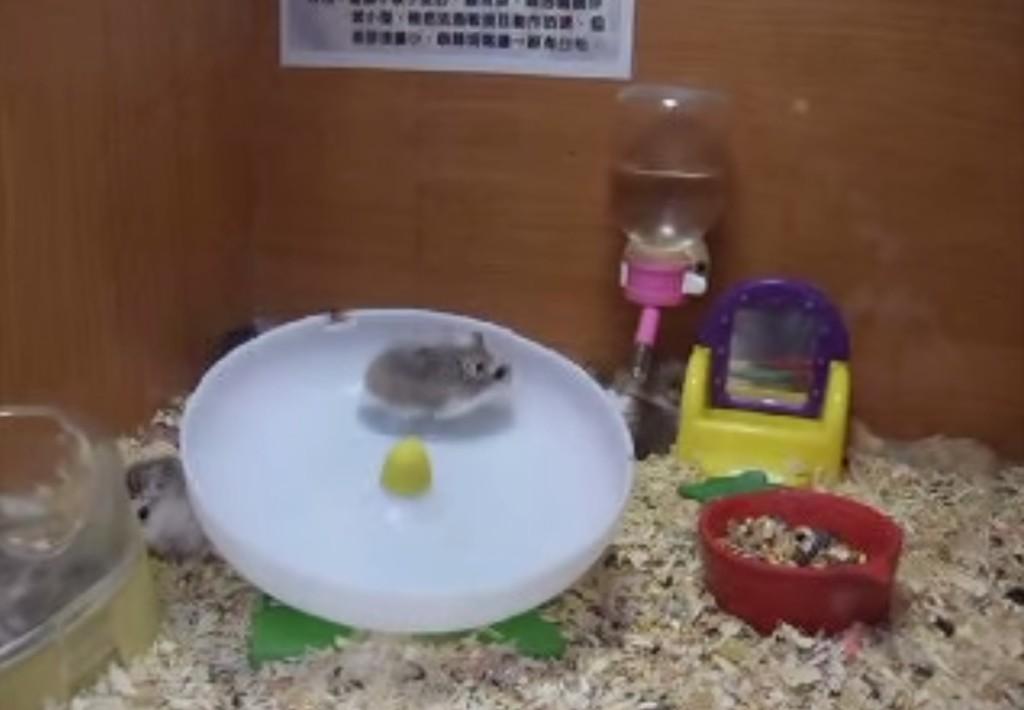 這兩隻倉鼠本來在轉輪上盡情地奔跑...結果因為速度太快了於是發生了最爆笑的可愛意外!