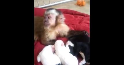 這隻寵物猴子面對家裡新來的一窩小狗狗...居然會做出這麼溫馨的舉動!
