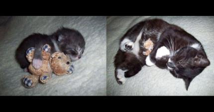 33張貓咪小時候和長大的對比圖,會讓你忍不住想要把毛寶貝緊緊抱住!