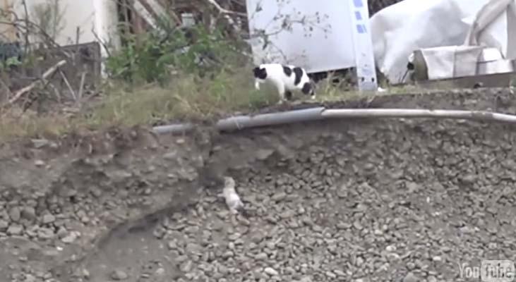 貓媽媽看見她的寶寶滾下水溝,下一秒她做出每位母親都會做的英勇事情。