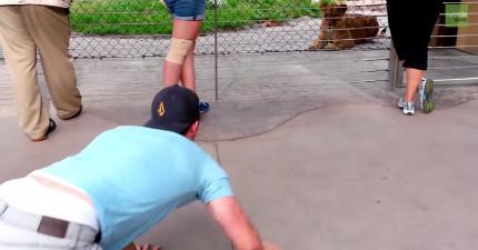 這個男生趴下來在動物園戲弄這些獅子,結果沒有遇過這種訪客的獅子的反應讓所有人都很驚喜。