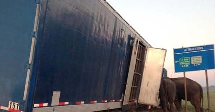 一台馬戲團貨櫃車傾斜快翻覆,訓練師靈機一動請來了5噸重的好幫手挽救危機!