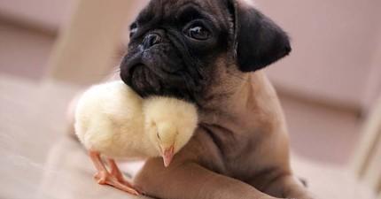 這隻哈巴狗和小雞居然變成了形影不離的好朋友,他們互動的模樣真的太療癒了!