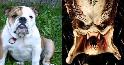當這隻鬥牛犬的主人把吹風機往他的臉吹時,你就一定會大笑出來!