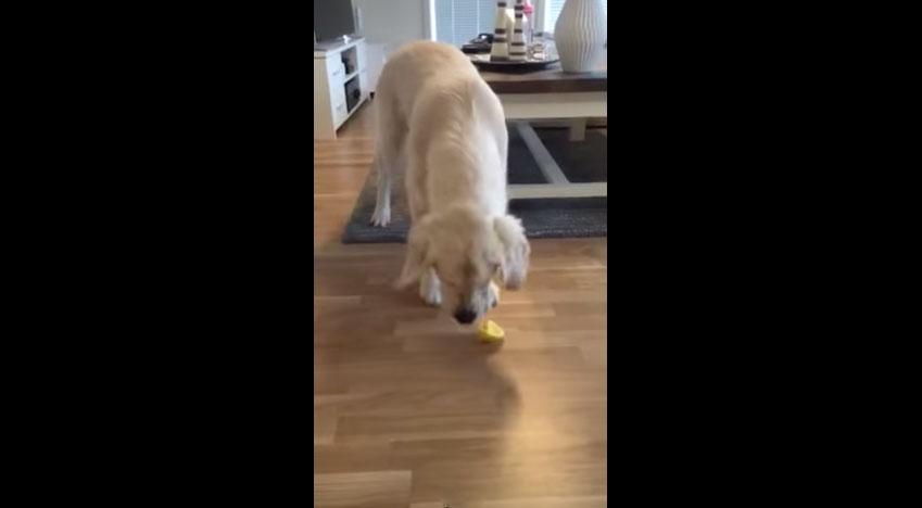 這隻黃金獵犬嚐了幾次檸檬,而每次招架不住的反應也會讓你招架不住!