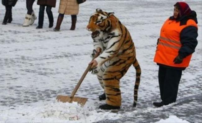 剷雪的老虎。