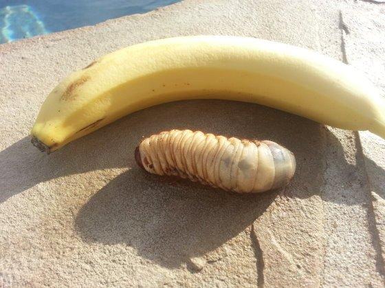 把这种肥肥的怪虫摆在香蕉旁边,居然丝毫不逊色!
