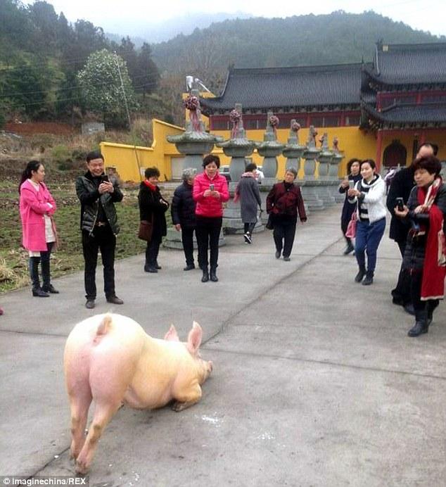 豬也會膜拜神靈?!這隻豬居然在廟前做出這個令人不解的奇妙行為!他之後的遭遇解釋了這一切。